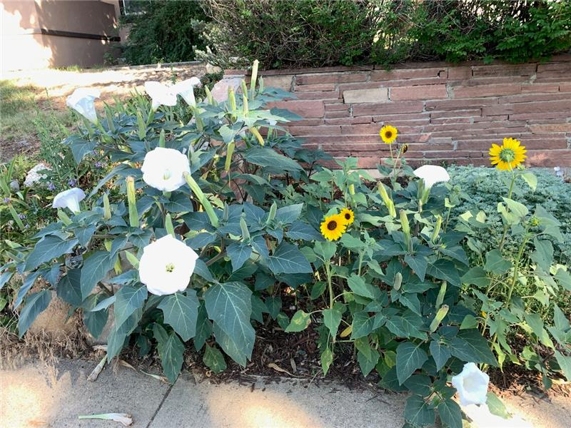 There are perennial flowers all over! These are between the sidewalk and the retaining wall.