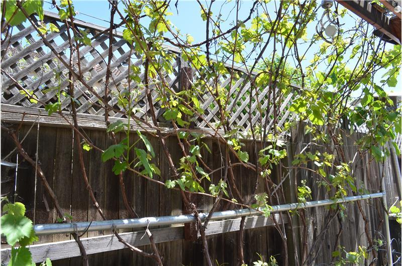 Grape Vines cover Pergola