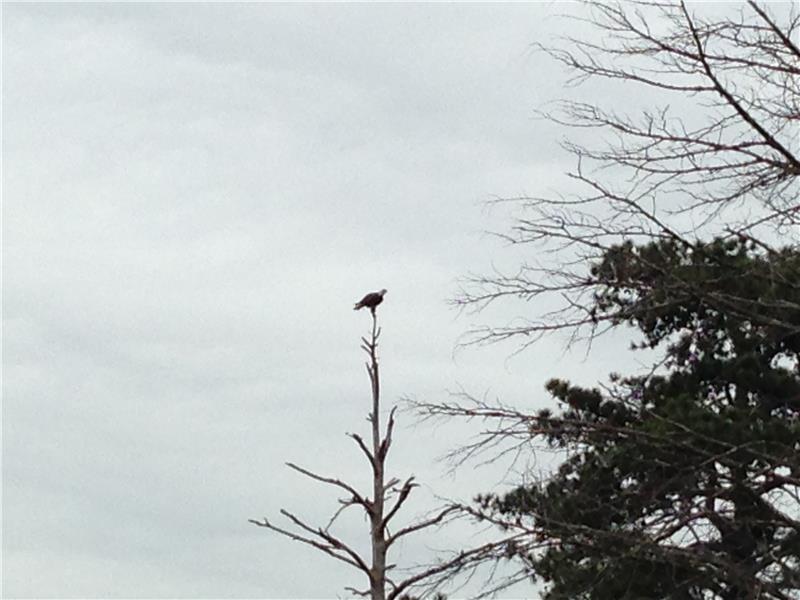 2 bald eagles have nest on property